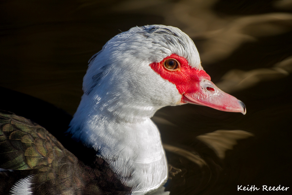 muscovy_duck_bolam_1a.jpg